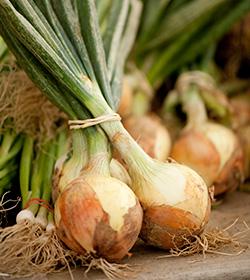 onions Allium Greenmarket
