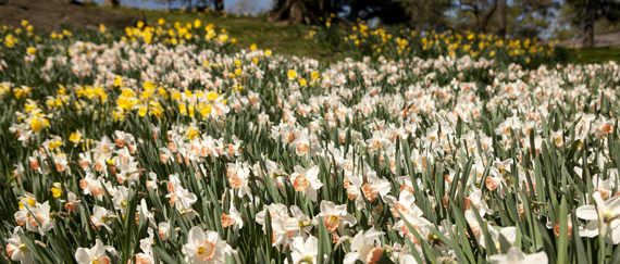 Daffodils at the NYBG