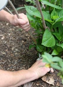 Cutting back hydrangeas