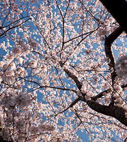 0414-cherry-blossom-thumbnail-250x280