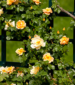 Shrub rose Rosa Marigold