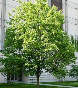 steere herbarium tree