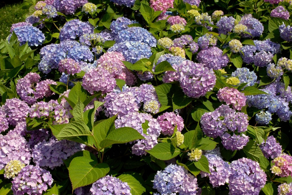 Re-blooming hydrangeas such as Endless Summer® will flower in spite of our hard April frost.