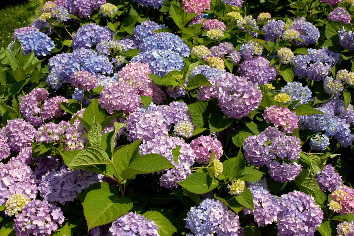 hydrangea endless summer waiting for hydrangeas plant talk 28837