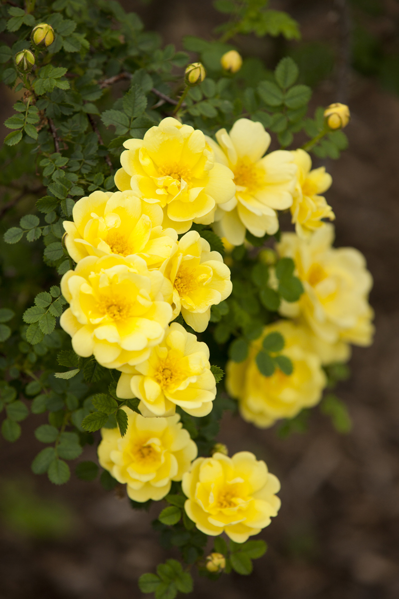 Morning eye candy 21 and climbing nybg for Garden trees with yellow flowers