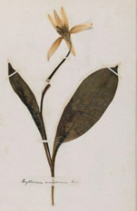 Emily Dickinson's pressed trout lily specimen (Courtesy of Harvard University)