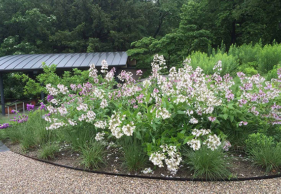 A mixed planting of Penstemon in the Glade.