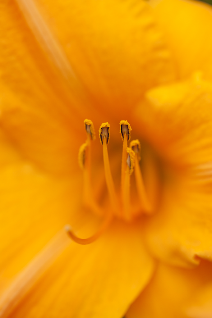 Hemerocallis 'Viracocha'