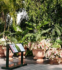 Colocasia elephant ears curator's spotlight