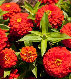 0814-red-flower-thumbnail-250x280