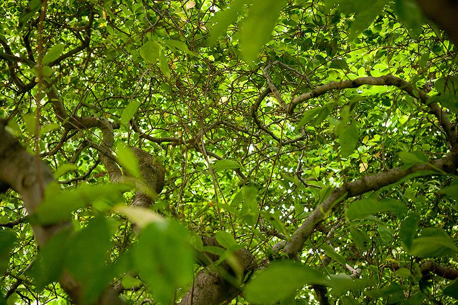 Magnolia stellata tree