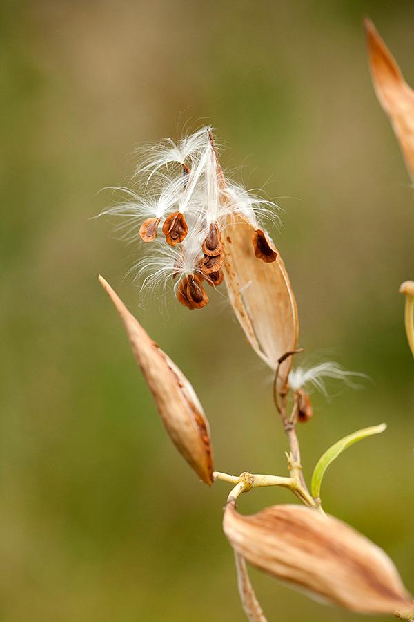Asclepias incarnata swamp milkweed