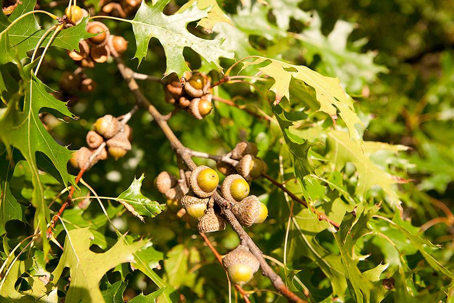 Quercus coccinea scarlet oak