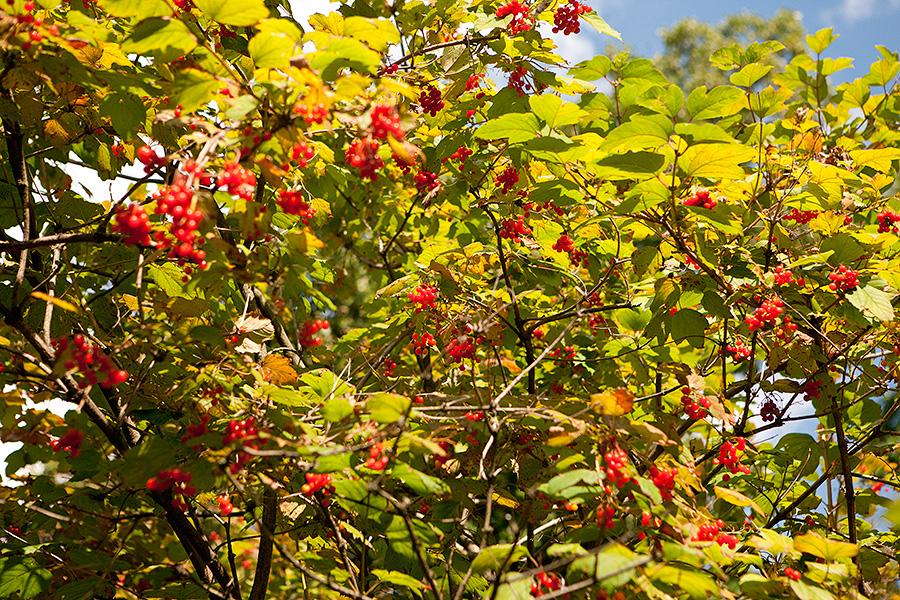 Viburnum opulus var. americanum 'Wentworth' American cranberry bush