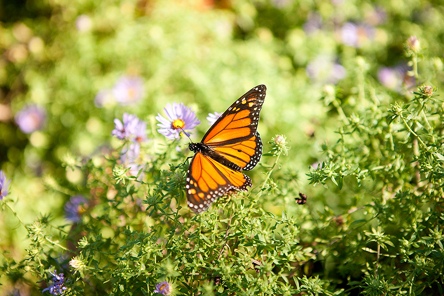 Monarch Butterfly Asters Home Gardening Center