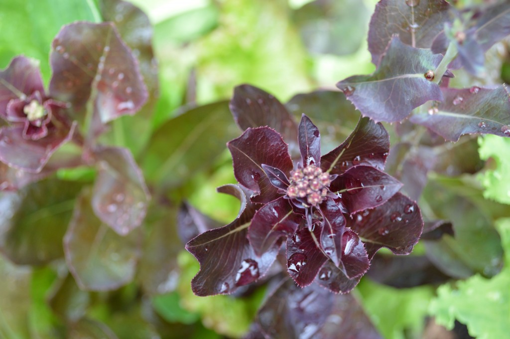 'Redina' red leaf lettuce bolts in the heat of summer, setting flowers and then seed to save.
