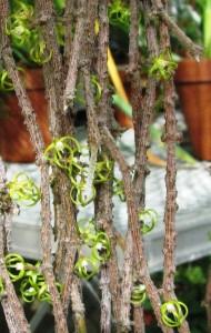 The stick plant (Cynanchum marnierianum) in bloom