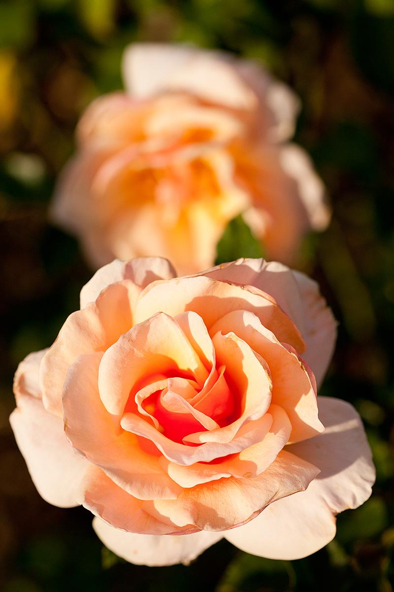 1014-Grandiflora-rose-Mother-of-Pearl-1200x800
