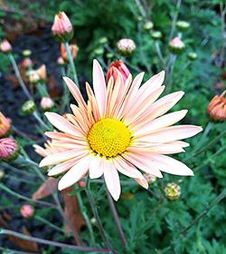 Chrysanthemum rubellum 'Sheffield'