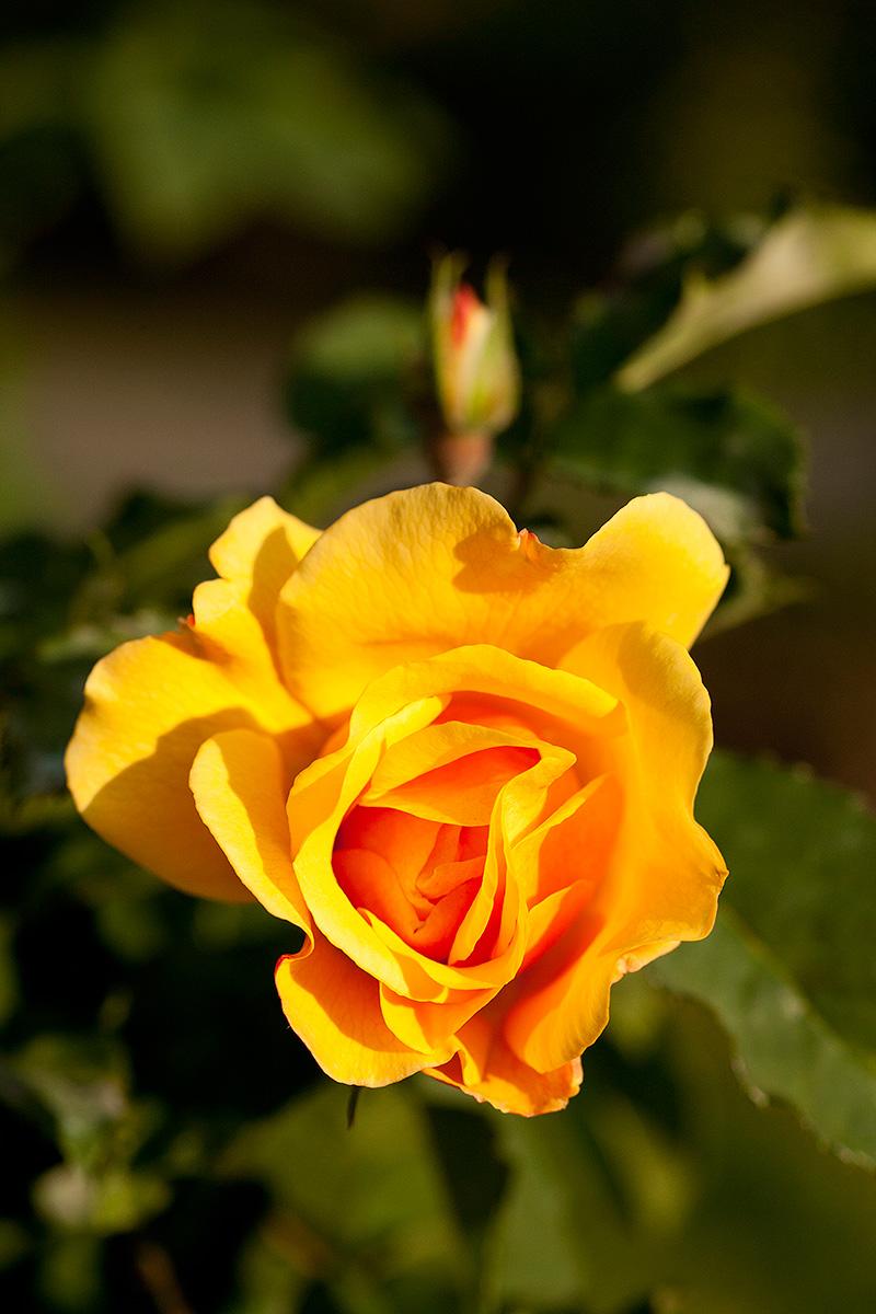 Shrub Rose Postillion Kordes