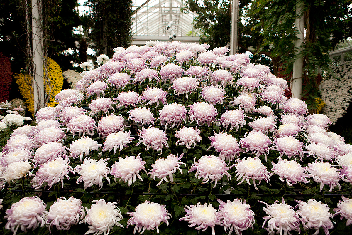 Kiku the Art of the Japanese Garden chrysanthemum