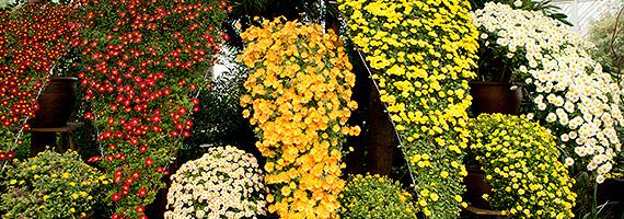 Kiky Japanese chrysanthemum