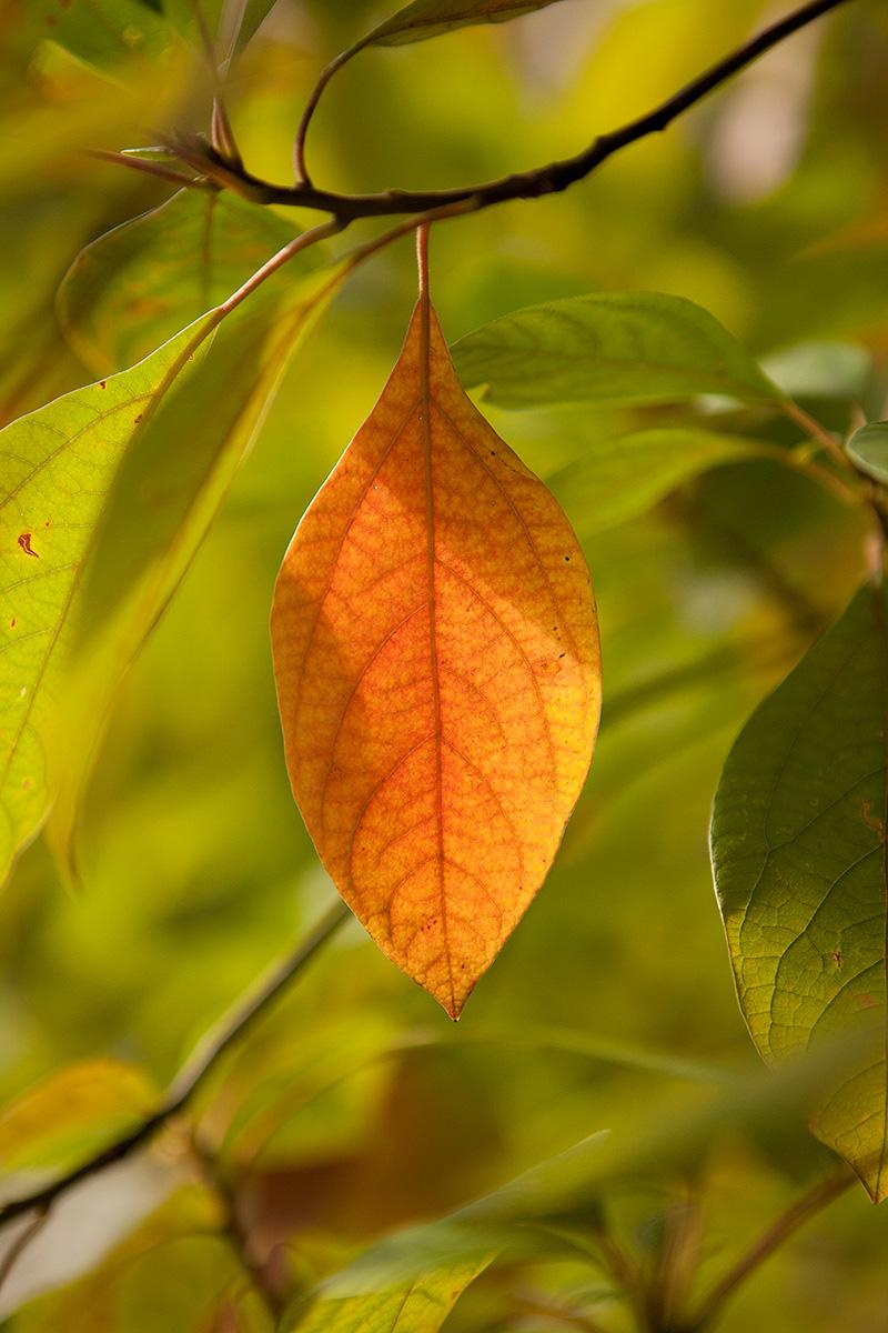 fall foliage NYBG