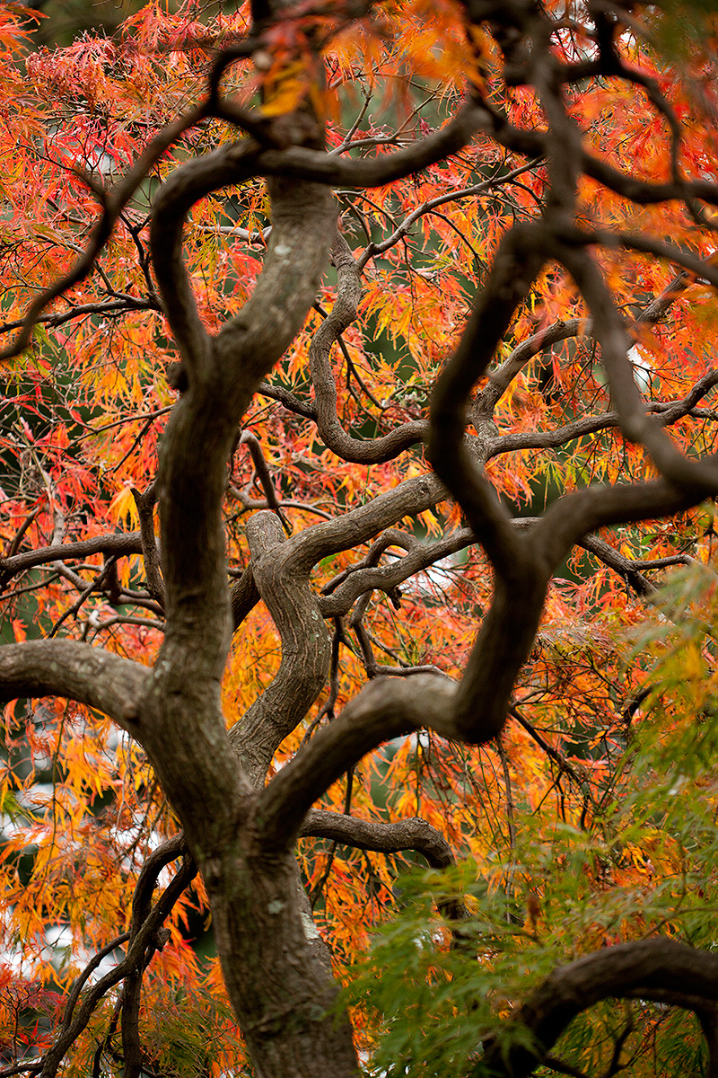 Acer palmatum Dissectum Group Dissectum cutleaf Japanese maple