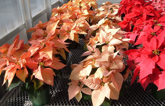 Poinsettias To Keep Or Not To Keep Plant Talk