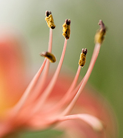 Amaryllis Hippeastrum sp.