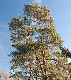 1214-conifer-250x280