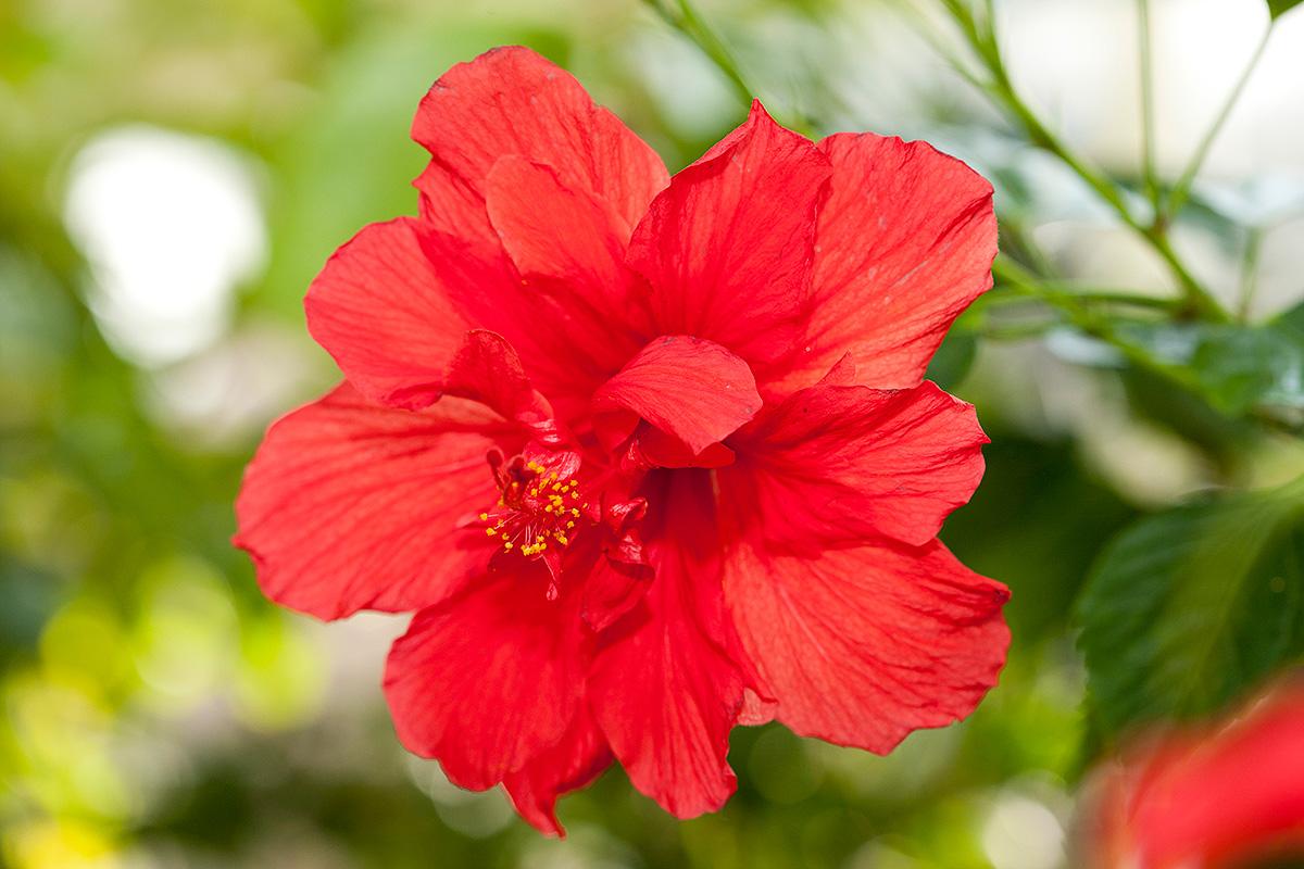 Hibiscus rosa sinensis 'Red Dragon'