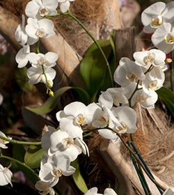 Phalaenopsis Monte Bianco IV