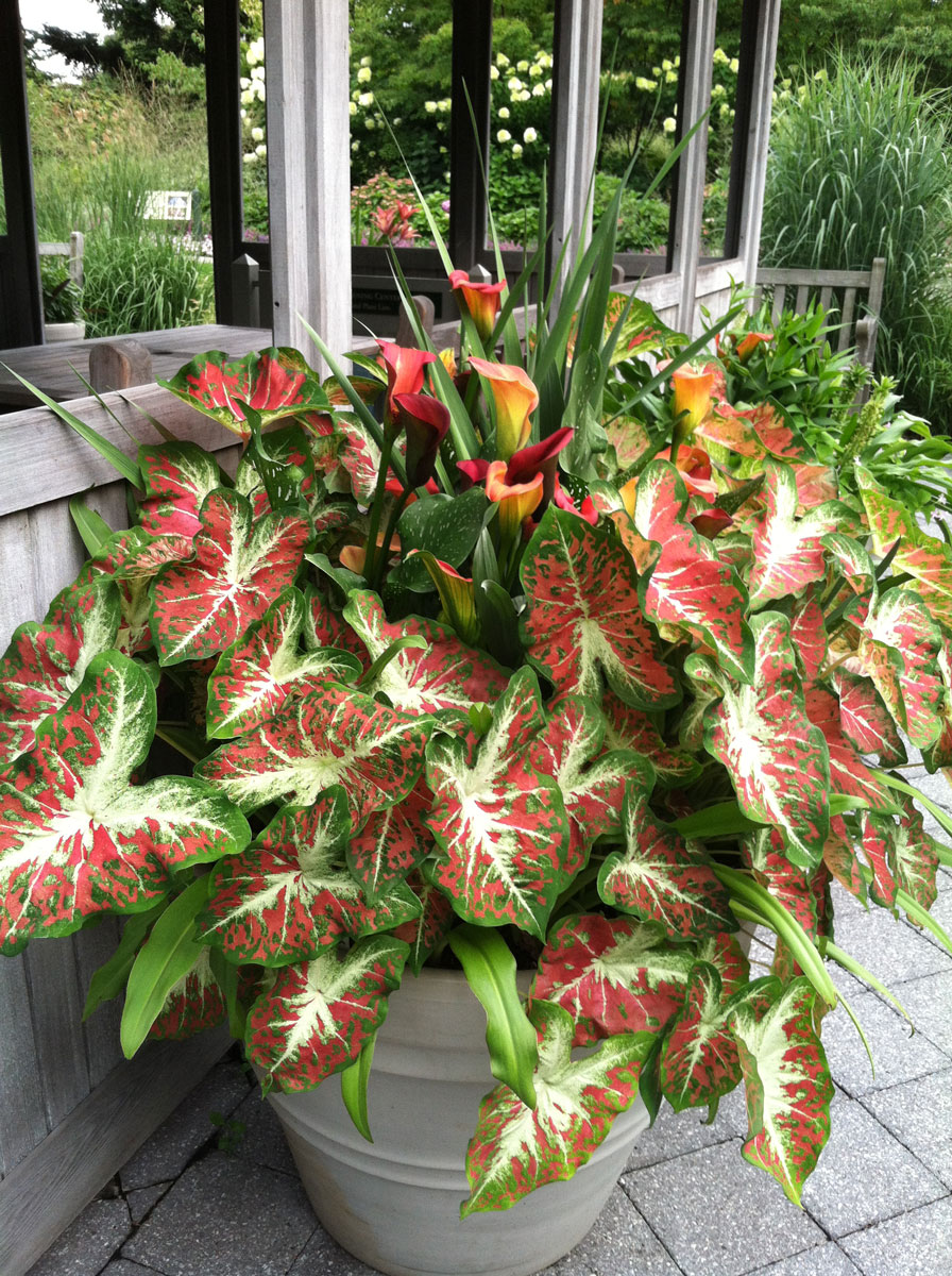 Colorful Caladiums Plant Talk