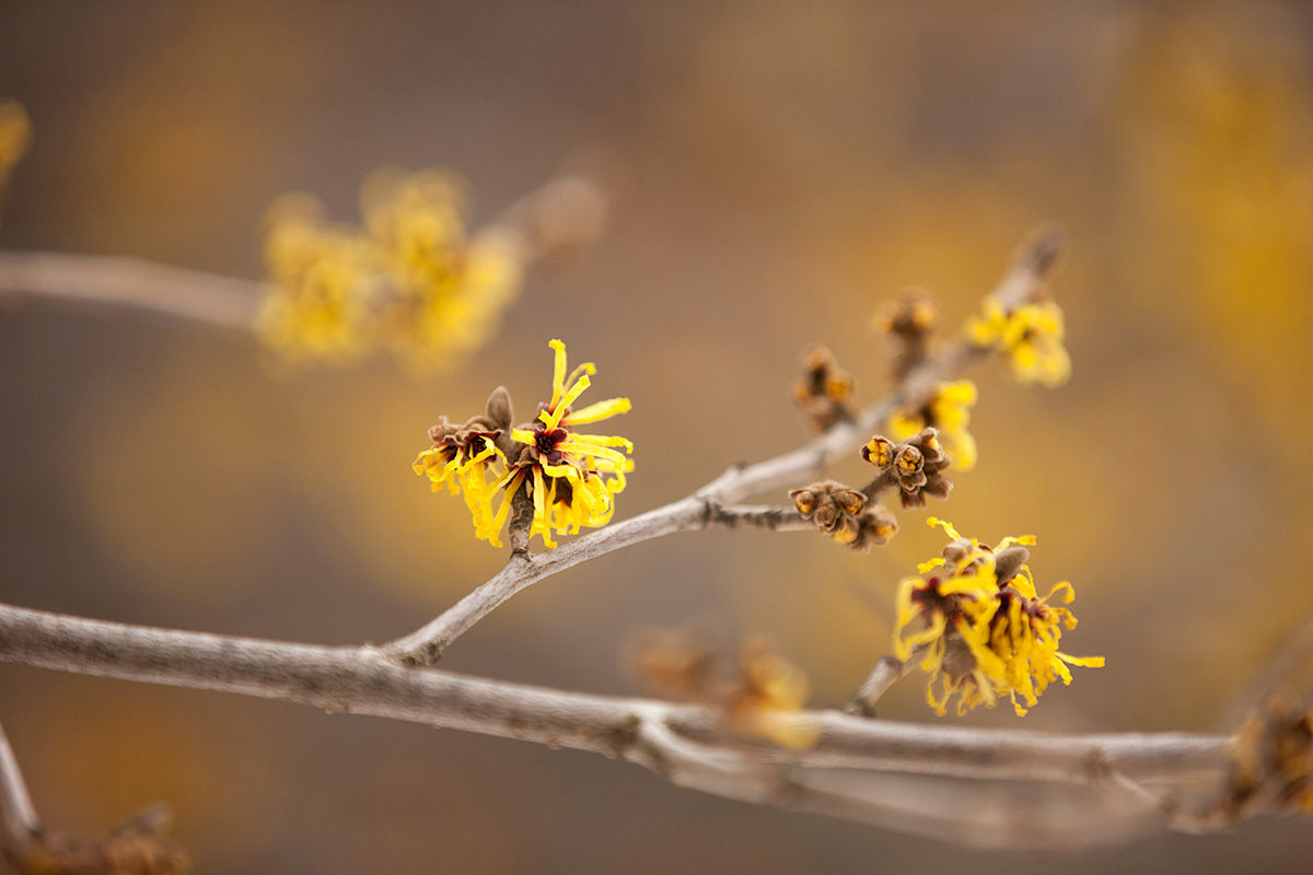 Hamamellis mollis Chinese witch hazel