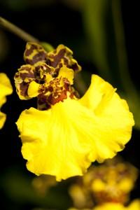 Oncidium Jiuhbao Gold