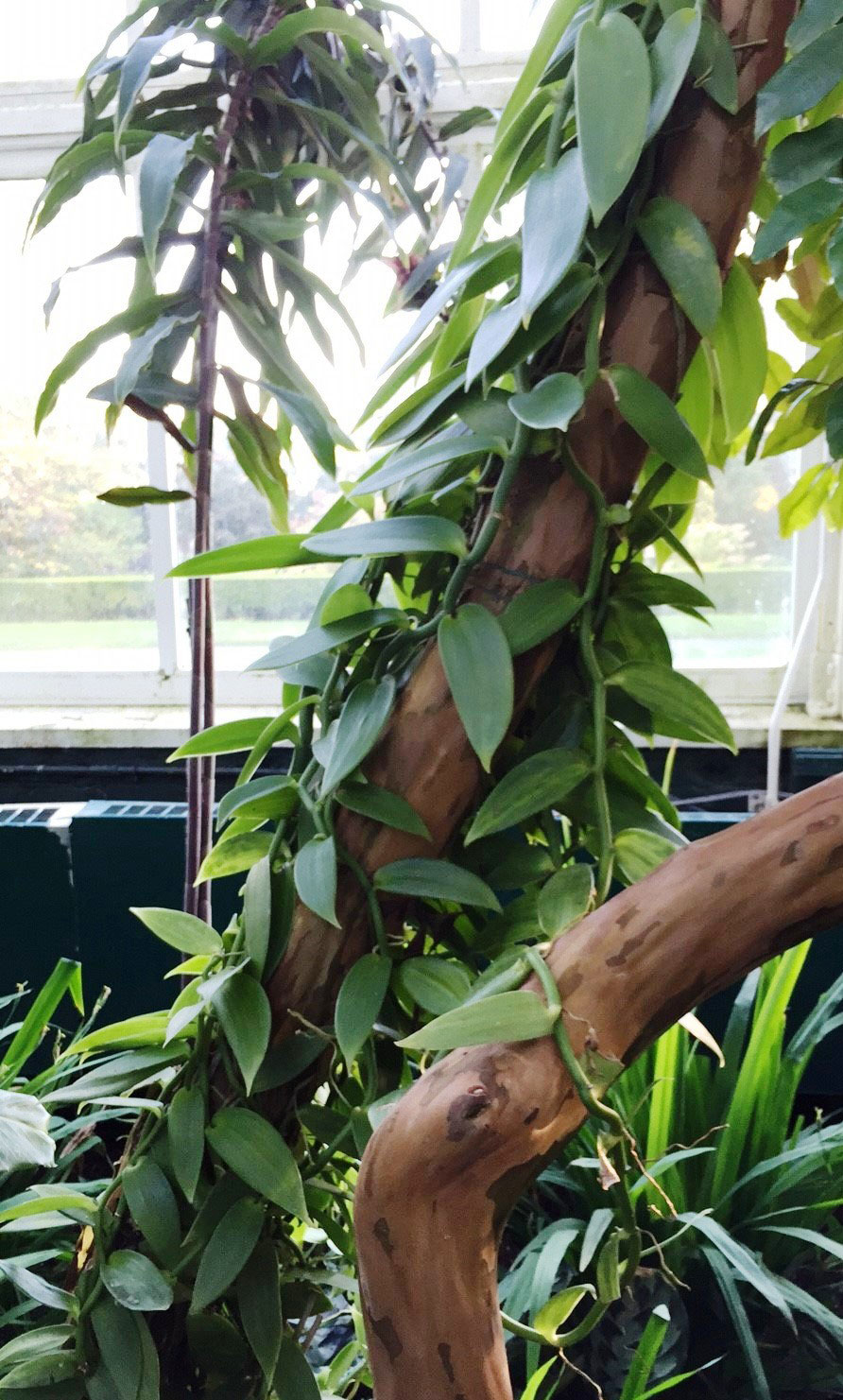 Vanilla planifolia orchid vine