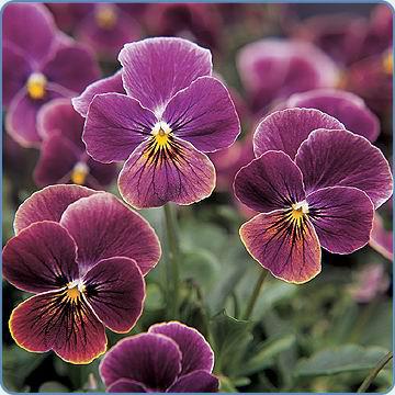 Viola 'Sorbet Antique Shades' (Egmontseeds)