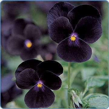 Viola 'Sorbet Black Delight' (Egmontseeds)