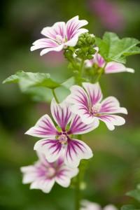 Alcea rosea Simplex hollyhock