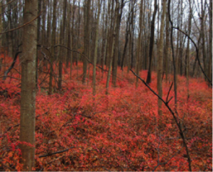 Invasive Japanese barberry (Berberis thunbergii) outcompetes native understory and prevents forest regeneration in New York State (NYS DEC, 2015).