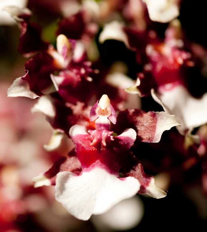 Oncidium Heaven Scent Redolence orchid