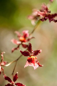 Oncidium Sharry Baby 'Sweet Fragrance' orchid