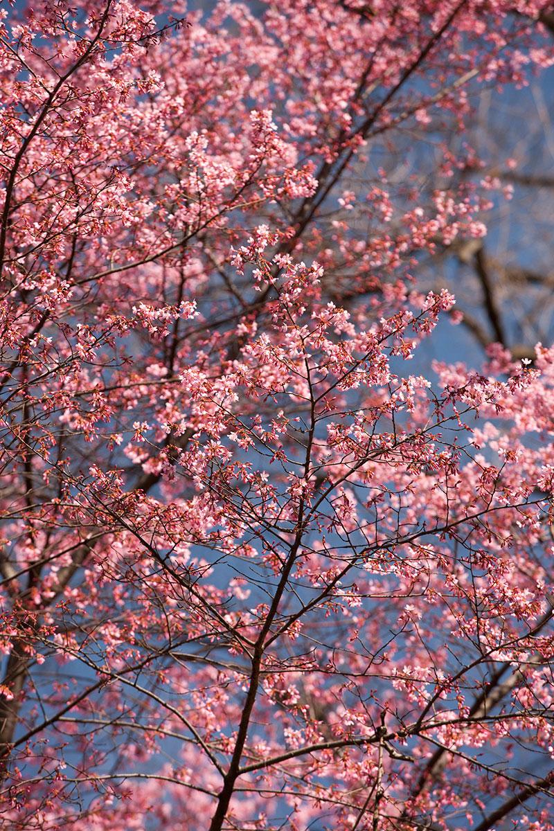 Prunus 'Okame' cherry blossom flowering cherry