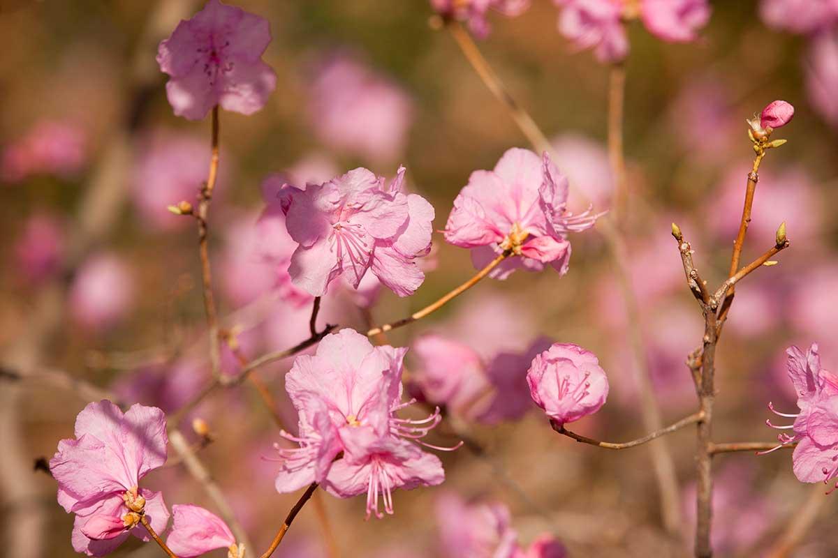 Rhododendron mucronulatum 'Pink Peignoir' Azalea Garden