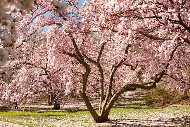 The magnolia bloom is just around the corner.