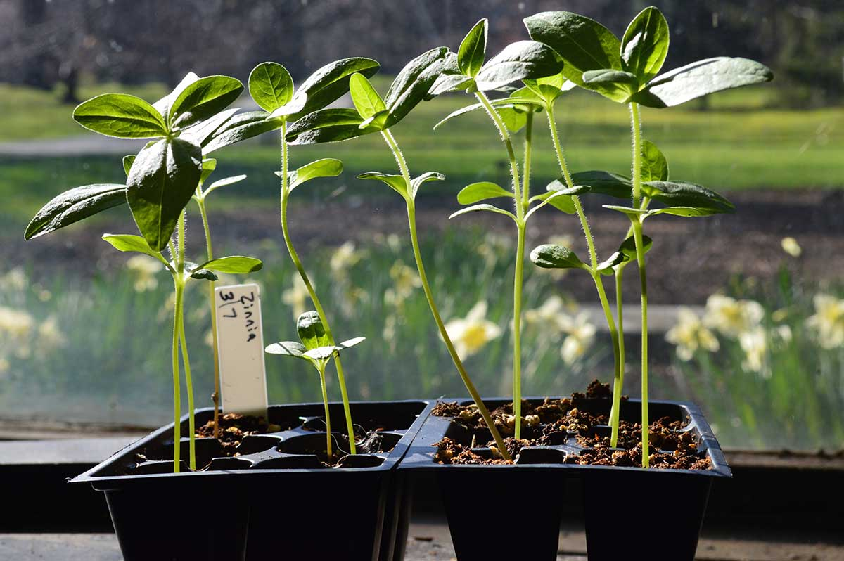 Zinnia seedlings, started in an office window at The New York Botanical Garden. Photo by Sara Katz