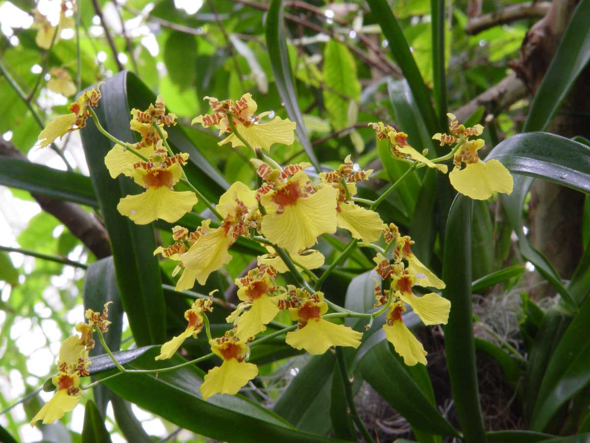 Oncidium Dancing Ladies orchid
