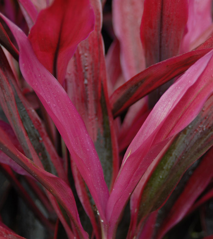 Cordyline fruticosa Hot pepper plant