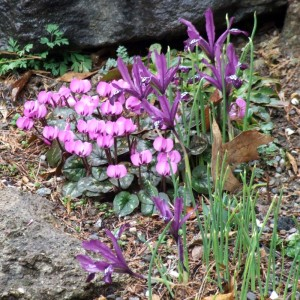 Cyclamen coum and Iris 'Pauline'